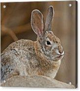Desert Cottontail Rabbits Acrylic Print