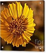 Desert Dandelion Acrylic Print