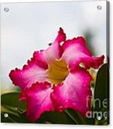 Desert Rose Acrylic Print