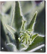 Desert Sunflower Geraea Canescens Bloom Acrylic Print