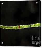 Desmidium Sp. Green Algae, Lm Acrylic Print