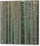 Detail Of Arrow-straight Evergreen Acrylic Print