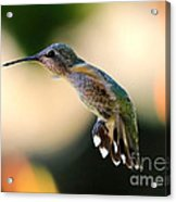 Determined Hummingbird Acrylic Print
