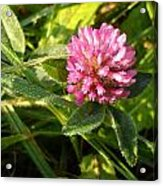 Dew Covered Clover Blossom Acrylic Print