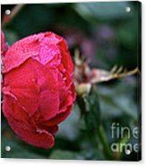 Dew Drenched Rose Acrylic Print