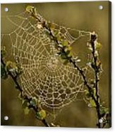 Dew Highlights An Orb-weaver Spiders Acrylic Print