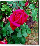 Dew Kissed Red  Rose Acrylic Print