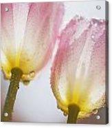 Dew On Tulips Acrylic Print