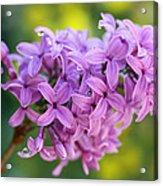 Dewdrops On Lilacs Acrylic Print