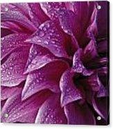 Dewy Dahlia Acrylic Print