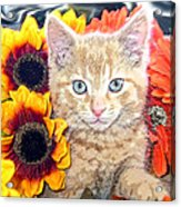 Di Milo - Sun Flower Kitten With Blue Eyes - Kitty Cat In Fall Autumn Colors With Gerbera Flowers Acrylic Print