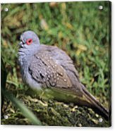 Diamond Dove Acrylic Print