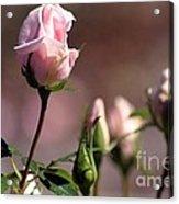 Diana Rose Acrylic Print