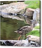 Diary Of A Mad Brown Duck Acrylic Print