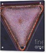 Diatom - Triceratium Formosum Acrylic Print by Eric V. Grave