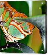 Dido Longwing Butterfly Acrylic Print
