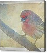 Digitally Painted Finch With Texture II Acrylic Print