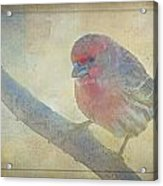 Digitally Painted Finch With Texture IIi Acrylic Print
