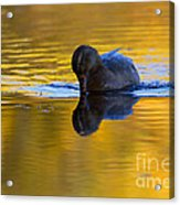 Dipping In Gold Acrylic Print