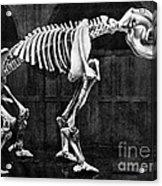 Diprotodon, Cenozoic Mammal Acrylic Print