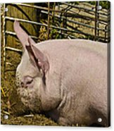 Dirty Piggy Acrylic Print