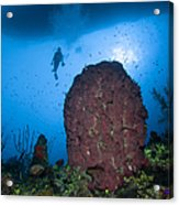 Diver And Barrel Sponge, Belize Acrylic Print
