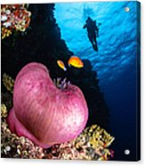 Diver And Magnificent Anemone, Fiji Acrylic Print
