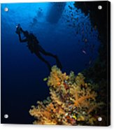 Diver And Soft Coral, Fiji Acrylic Print