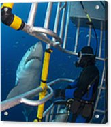 Diver Observes A Male Great White Shark Acrylic Print