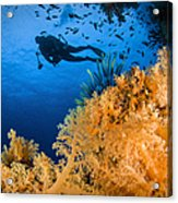 Diver Swimms Above Soft Coral, Fiji Acrylic Print