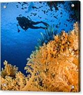 Diver Swimms Above Soft Coral, Fiji Acrylic Print