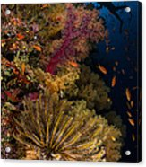 Diver Swims By Soft Corals And Crinoid Acrylic Print