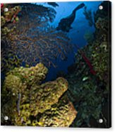 Diver Swims Over A Reef, Belize Acrylic Print