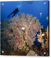 Diver Swims Over Sea Fans, Indonesia Acrylic Print