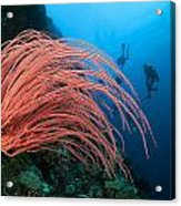 Divers And Whip Coral Acrylic Print