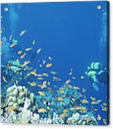 Divers Enjoy The Beauty Of The Reefs Acrylic Print