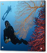Divers Swimming By Sea Fans, Indonesia Acrylic Print