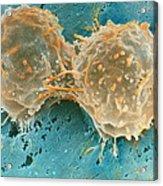 Dividing Cells Acrylic Print by Professor P. Motta & D. Palermo