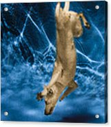 Diving Dog 2 Acrylic Print