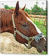 Do I Have Hay On My Nose Acrylic Print