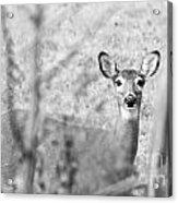 Doe A Deer. Acrylic Print