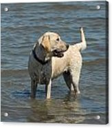 Dog 78 Acrylic Print