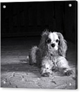 Dog Black And White Acrylic Print by Jane Rix