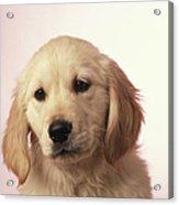 Dog, Close-up Acrylic Print