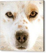Dog Eyes Acrylic Print