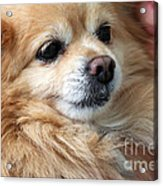 Dog First Acrylic Print by Charline Xia