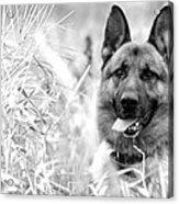 Dog In Field Acrylic Print