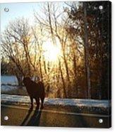 Dog In Morning Sun Acrylic Print