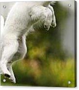 Dog Jumps Acrylic Print
