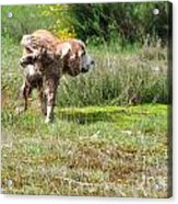 Dog Making A Pee Acrylic Print